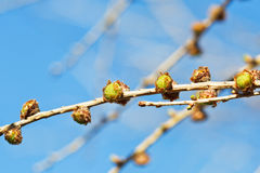 Cones on larch tree twig with blue spring sky Royalty Free Stock Image
