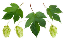 Cones and leaves of hops Stock Photography