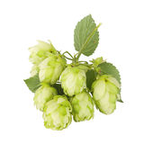Cones and leaves of the plants hops Stock Photography