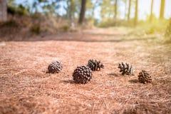 Cones macios do pinho do foco na floresta no backgroun da folha dos cones do pinho Fotos de Stock