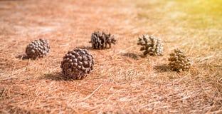 Cones macios do pinho do foco na floresta no backgroun da folha dos cones do pinho Imagens de Stock Royalty Free