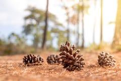 Cones macios do pinho do foco na floresta no backgroun da folha dos cones do pinho Foto de Stock
