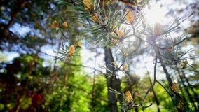 Cones masculinos do pinheiro filme