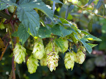 Cones mature hop on branch Stock Photos