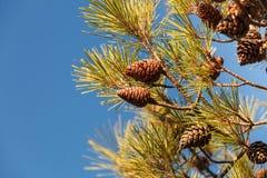 Cones na árvore das coníferas fotografia de stock