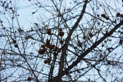 Cones na árvore fotografia de stock