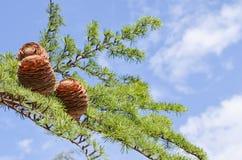 Cones na filial sobre o céu azul Fotografia de Stock Royalty Free