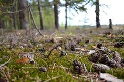 Cones na floresta imagens de stock royalty free