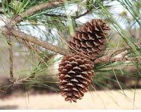 Cones naturais do pinho Fotografia de Stock