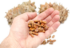 Cones and Nuts of Siberian Cedar Pine in hand Stock Photos
