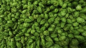 Cones Of Freshly Harvested Hops Royalty Free Stock Image