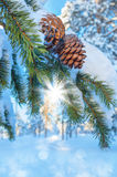 Cones On Coniferous Branch Stock Photography