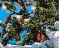Cones on a Picea omorika top under white fluffy snow in a blue sky. Branches with short striped needles, characteristic of the Serbian spruce. Close-up royalty free stock images