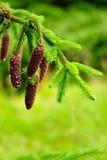 Cones on pine Stock Photos