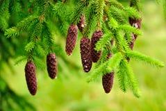Cones on pine Stock Photo