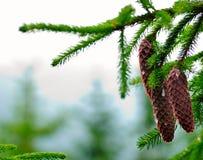 Cones on pine Stock Photography