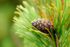 Cones on pine Royalty Free Stock Photo