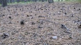 Cones in a Pine Forest. The Camera Moves Low over the Ground. A lot of different big cones, needles and tall pines in the summer pine forest stock footage