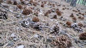 Cones in a Pine Forest. The Camera Moves Low over the Ground stock footage
