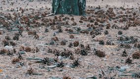 Cones in the Pine Forest. A lot of different big cones, needles and tall pines in the summer pine forest. The camera glides over the ground stock video footage