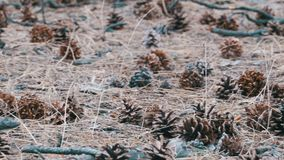 Cones in the Pine Forest. A lot of different big cones, needles and tall pines in the summer pine forest. The camera glides over the ground stock video