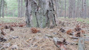 Cones in a pine forest stock video