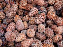 Cones of pine nuts Stock Photography