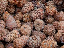 Cones of pine nuts Royalty Free Stock Photos