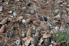 Cones pt.5. Coniferous forest fascinates with its beauty Royalty Free Stock Photos