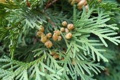 Cones quase maduros de occidentalis do Thuja foto de stock