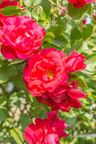 Cones of red roses. Flowering bush of red roses Royalty Free Stock Photography