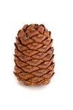 Cones Siberian do pinho Imagem de Stock Royalty Free