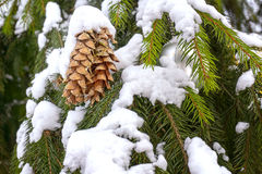Cones on snow-covered spruce branches Stock Photography