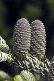 Cones Spruce Imagem de Stock Royalty Free