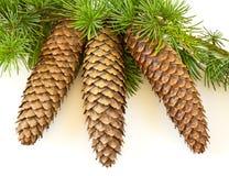 Cones Spruce com folha Imagem de Stock Royalty Free