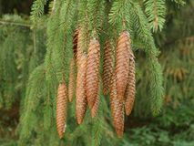 Cones on the spruce Stock Images