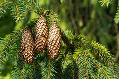 Cones of spruce. On the green background Stock Photography