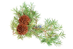 Cones of spruce and juniper branchlet Stock Image