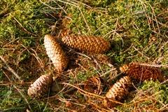 Cones Spruce na terra fotos de stock royalty free