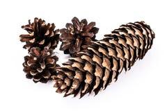 Cones of Spruce, Pine Stock Photo