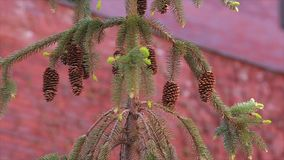 Cones on spruce a red background Stock Image