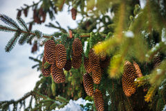 Cones on spruce Stock Images