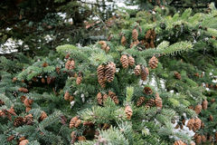 Cones and spruce twigs Royalty Free Stock Photo