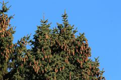 Cones on the top of the firs. Bumps on the top of the fir trees in the forest Royalty Free Stock Photography