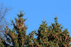 Cones on the top of the firs. Cones on the top of the fir trees against the blue sky Royalty Free Stock Photos