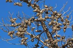 Cones on the tree Stock Photos