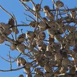 Cones on the tree Stock Photo