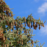 Cones on the tree against sky Royalty Free Stock Image