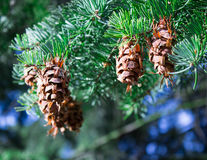 Cones on the tree on a beautiful sunny day. Stock Images