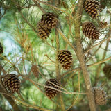 Cones on a tree Stock Photography